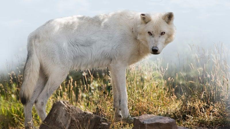 Gray wolf in field
