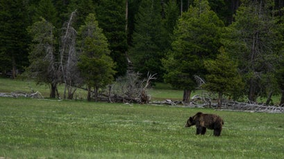Grizzly in the meadow