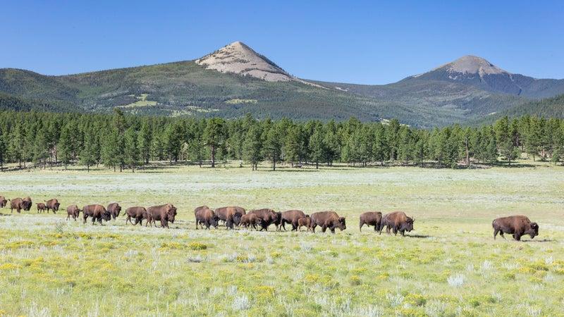 Bison Herd in Meadow