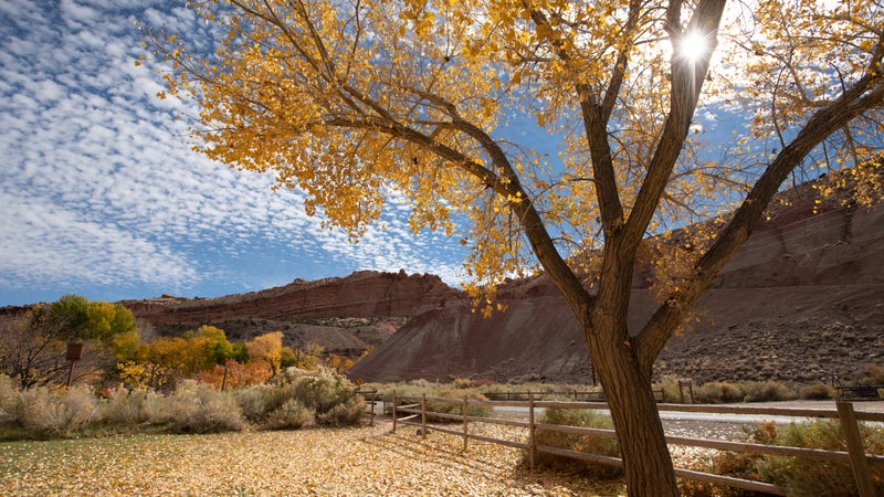 Beautiful cottonwood trees having yellow leaves as the season changes