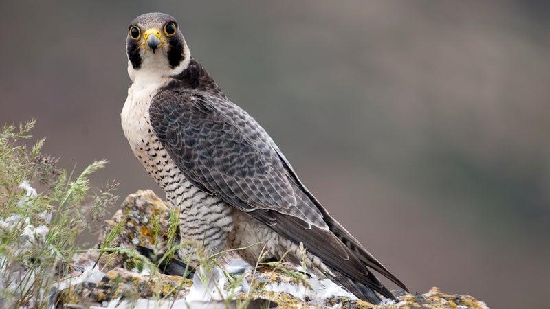 Peregrine falcon on the rock. Bird of prey, female portrait, Falco peregrinus