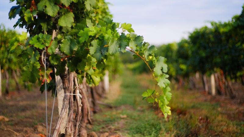 Vineyard rows with grapes. Grapes harvesting season in the Repub