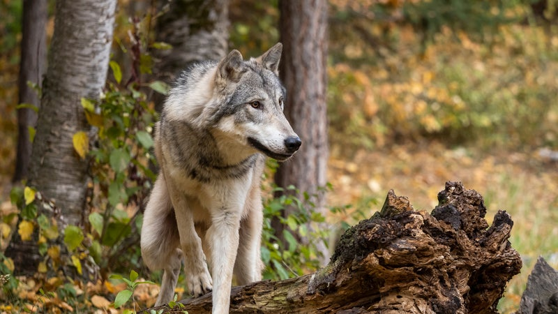 Wolf in Trees Intense Look in Natural Autumn Setting Captive