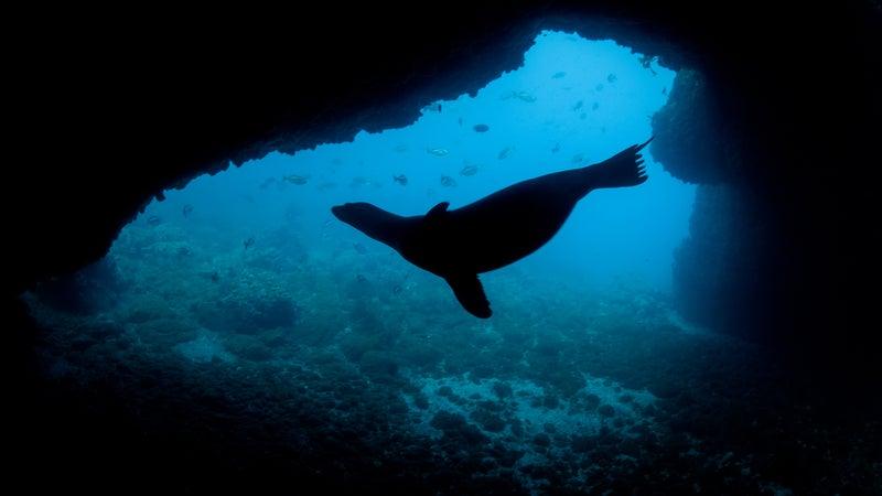 Sea Lion Silhouette