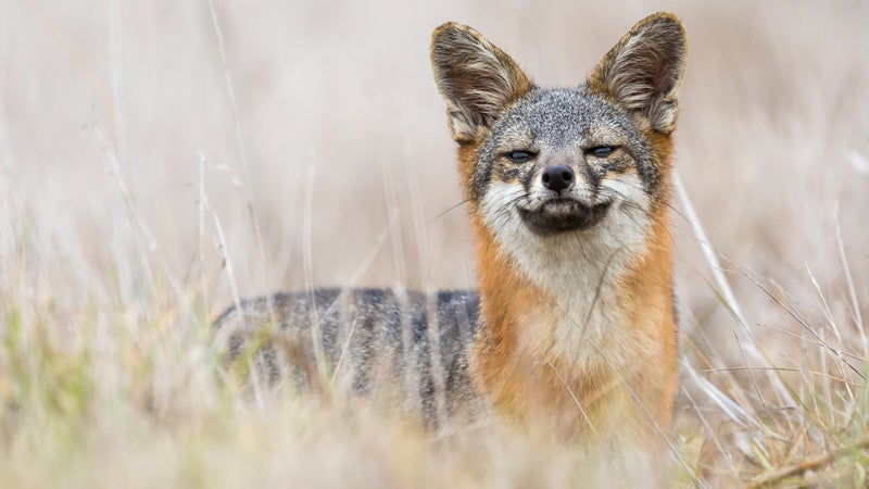 Rare Island Fox in Channel Islands National Park