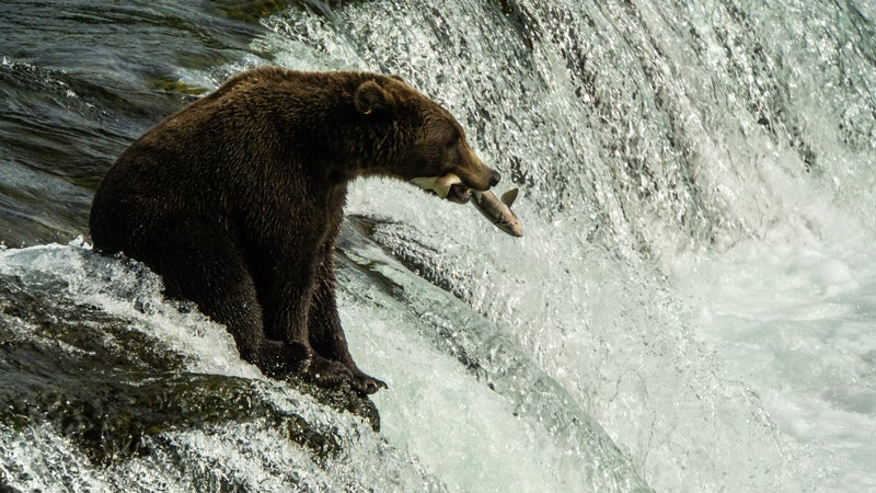 Fattening up for the winter in Katmai