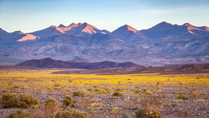 """A rare """"super bloom"""" event covering large expanse of the desert valley floor with wild flowers, dominated by the golden yellow of desert gold flowers (also known as desert sunflowers or Geraea canescens) in Death Valley National Park in California. The Amargosa mountains rise over the valley in the background."""