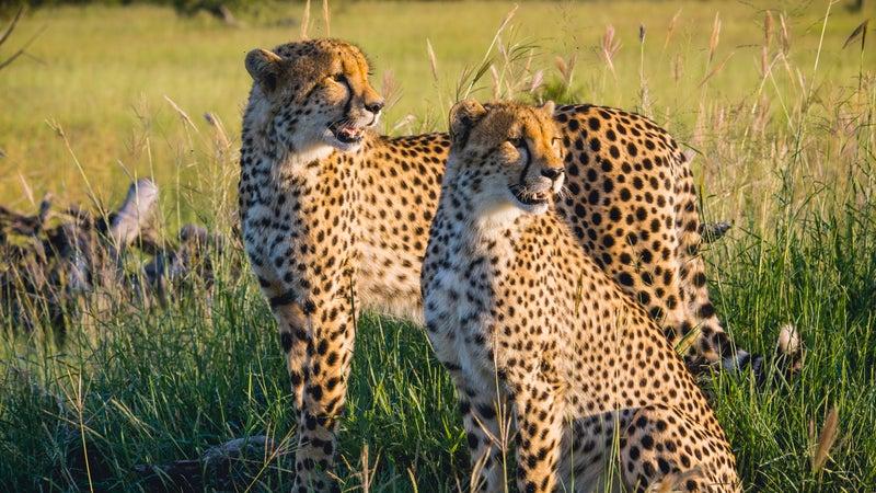 sigma (174) 150-500mm leopard b