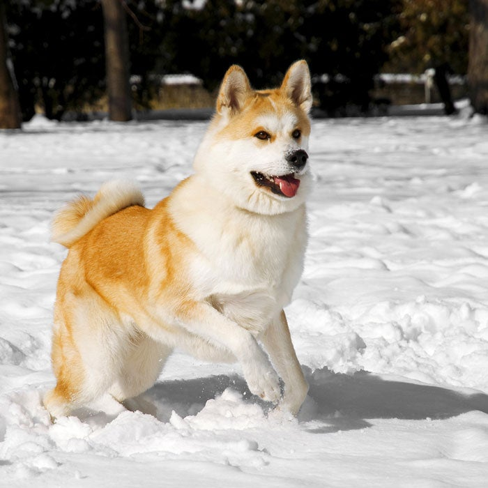 akita most expensive dogs