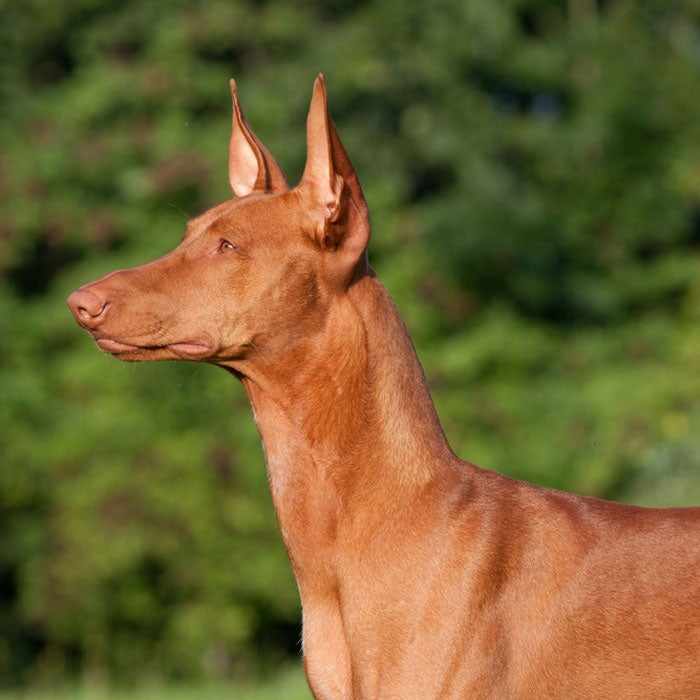 pharaoh hound most expensive dogs