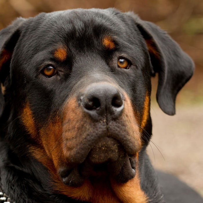 rottweiler most expensive dogs