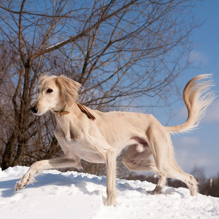saluki most expensive dogs