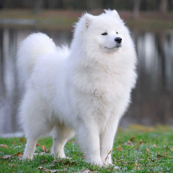 samoyed most expensive dogs