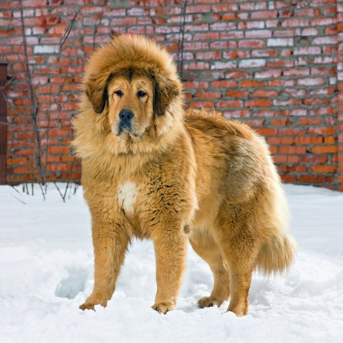 tibetan mastiff most expensive dogs