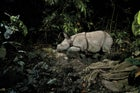 An endangered one-horned rhino calf, captured by a camera trap in Kaziranga