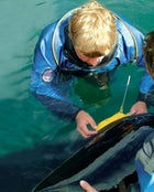 Foster inspects a satellite tag on Keiko's dorsal fin