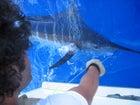 Josh Wiring a Blue Marlin