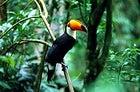 Amazon exposure: a toucan under the green in Brazil's Amazon basin