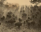 Home again on the range: a portion of the Flying D's 5,000-head bison herd
