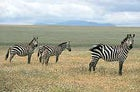 Zebras browse north of the Serengeti