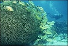 In the company of coral: a diver fins past a school of grunts off Florida's Tavernier Key