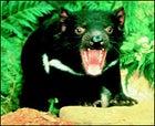 Tasmanian devil, mid-hiss