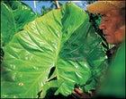 Chief Finiki and his no-good pulaka plants.