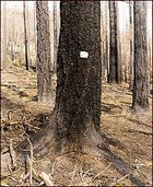 Brown but not out: A surviving tree from Oregon's Quartz fire