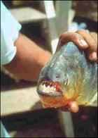 A Pantanal piranha