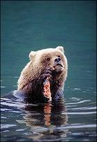 "A ""Maze"" grizzly gnaws a salmon."