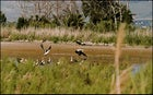 A mixed flock of waders at an Important Bird Area on the southern shore of the Sea of Galilee