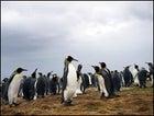 King penguins, Volunteer Point, East Falkland