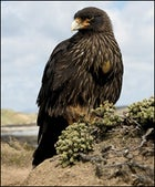 Striated Caracara, Falklands