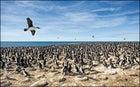 King cormorants, Falklands