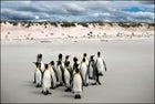 King penguins, Falklands