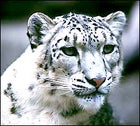 86. On its Home Turf, Encounter a Snow Leopard.