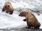 Children at play: bears frollicking in McNeil River Brown Bear Sanctuary