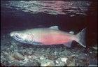 Wild File Salmon