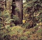 The British Columbia way: a centuries-old spruce on Moresby Island