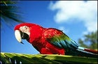 A scarlet macaw perched in the rainforests of Belize