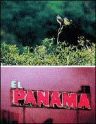 Stone's throw away: a pair of feathered Zonies; and Panama City's neon jungle.