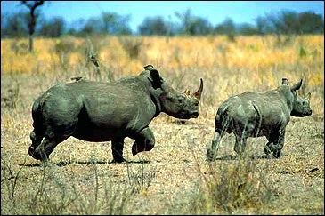 Running rhino's in South Africa's Kruger National Park
