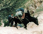 Dangerous footing: yak and porter on their way to 18,000 feet