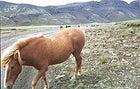 The diminutive yet durable Icelandic horse.