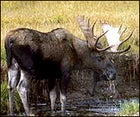 The moose of Maine