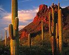 Tall, silent types: saguaros in Organ Pipe Cactus National Monument, Arizona