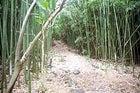 A bamboo forest near Wailua Falls, Maui