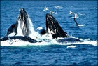 Humpback whales breach the surface to feed