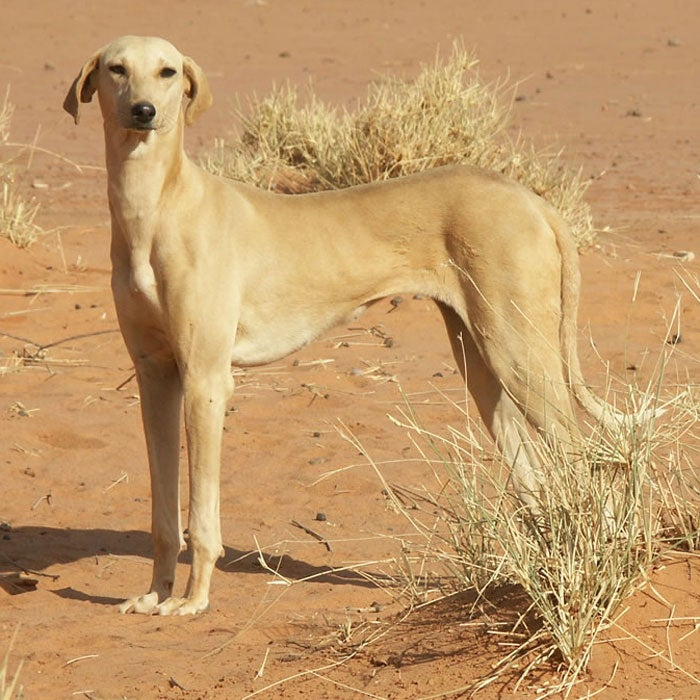 azawakh rarest dogs