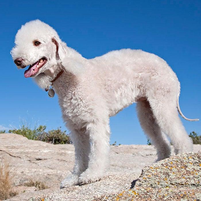 bedlington terrier rarest dogs